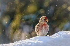 Redpoll in Snow   by arenkert, via Flickr