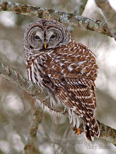Barred owl on a cold day greeting card by garyblakephotography, $6.00