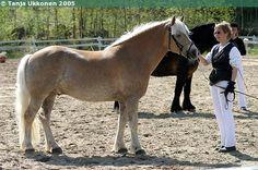 Haflinger - gelding Mistral