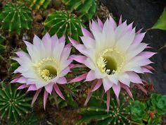 echinopsis oxygona - Pesquisa Google
