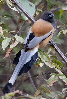 Rufous Treepie -Dendrocitta vagabunda TheRufous Treepie,Dendrocitta vagabunda (Passeriformes - Corvidae) isa bright rufous magpie with sooty head and neck, and impressions of grey, black and white in the wings and tail. It is a strictly arboreal bird of open forest, often near gardens, usually in pairs, with a very musical call. This Asian species occurs inBangladesh, Bhutan, Cambodia, India, Lao People's Democratic Republic, Myanmar, Nepal, Pakistan, Thailand and Viet Nam. It has ...
