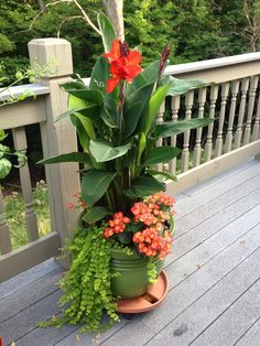 Cana Lilly, Creeping Jenny & Begonias with full sun make a lovely pot! I really like creeping jenny