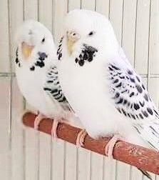 source : pinterest.com _ collection animal volatile, oiseaux duo de perruches blanches tachetées noires (couple birds pakeets)