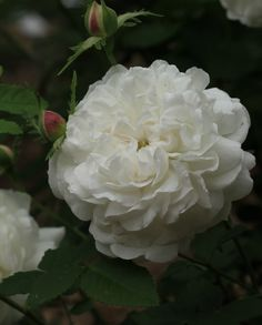 Rosa 'Armide' (France, 1818)