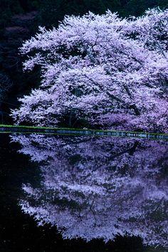 banshy: Cherry Tree   Yasuhiro Takagahara
