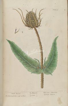 Wild Teasel, dipsacus sylvestris, labrum veneris      ...