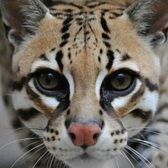 The Ocelot; probably my favorite wild cat. Look at those facial markings! edit: cannot find the photographer credit for this stunning photo, but I believe this feline belongs to the Alexandria Zoological Park.
