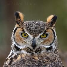 Great horned owl ( every spring we have these new owl babies learn to fly & hunt in our back yard)