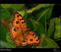 Peacock Pansy... Inspect Front Page