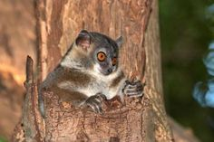 Nocturnal dwarf lemur - David Parsons/Getty Images