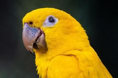 Learn More About the Golden Conure