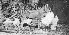 Extinct Animals: Rare Photographs | Tasmanian Tiger (Thylacine) photographed in a cage with a chicken