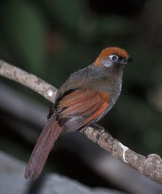 Birds Red-tailed Laughingthrush (Trochalopteron milnei) Captive.