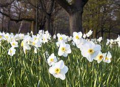 #Narciso: una #planta preciosa con flores blancas. Aprende los cuidados y a cultivar narciso. #exterior • Plantas y Semillas