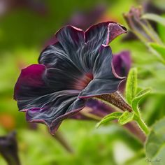 Black Velvet Petunia by ChristopherLeeHewitt (Away), via Flickr does not look real but it is .