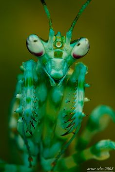 earth-song:  Pseudocreobotra ocellata by Artur Celles