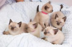 Traditional Siamese Kittens For Sale - Kittens