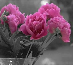 Special Flowers, Pink Flowers, Beautiful Flowers, Color Splash, Color Pop, Splash Photography, Color Photography, Colouring Pics, Pink Peonies
