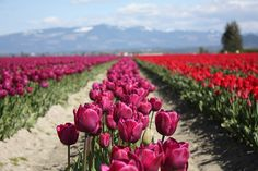 my favorite flowers- tulips All Flowers, Spring Flowers, Garden Nook, Spring Is Coming, Flower Farm, Plum Purple, Emerson, Mother Earth, Flower Power
