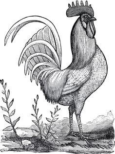 Public Domain Rooster Image Rooster Images, Rooster Art, Rooster Illustration, Motifs Animal, Chicken Art, Coloring Books, Coloring Pages, Images Vintage, Vintage Clip