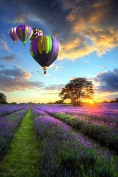 Picture of Beautiful image of stunning sunset with atmospheric clouds and sky over vibrant ripe lavender fields in English countryside landscape with hot air balloons flying high stock photo, images and stock photography. Pretty Pictures, Cool Photos, Live Photos, Pictures Images, Amazing Photos, Nature Pictures, Beautiful World, Beautiful Places, Beautiful Scenery
