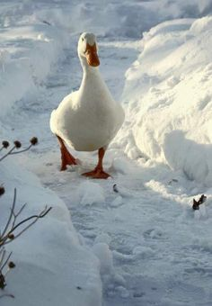 Waddle, waddle, quack, quack. . . my daughters used to say!