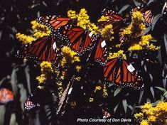 """Urquhart tagged Monarchs Don Davis The Discovery Story; Dr. Fred Urquhart On May 6th 1998, Fred and Norah Urquhart were jointly appointed to the Order of Canada. They were credited with """"one of the greatest natural history discoveries of our time."""" """"I do not know of any species of insect that has aroused a greater interest among the populace in many parts of the world than the monarch butterfly...Read More:"""