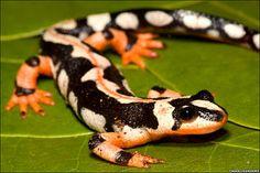 48 best salamanders images on pinterest wild animals animals