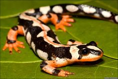 Kaiser's Spotted Newt (Neurergus kaiseri) also known as the Emperor Spotted Newt - Critically Endangered species endemic to the Zagros Mountains in Iran.