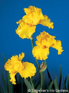 We crossed Golden Ecstasy X Peach Bisque to produce this luminously glowing empire yellow self. Its round 4 x 4 flaring petals have copiously ruffled and serrated edges. Tall...