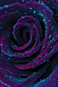 Rain on a Purple Rose