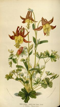 Buy Columbine Seeds from Swallowtail Garden Seeds. Huge selection of columbines. Single and double flowers, tall and dwarf plants. Columbine flowers attract hummingbirds and butterflies. Plants are deer and rabbit resistant. Vintage Botanical Prints, Vintage Art Prints, Botanical Drawings, Botanical Illustration, Charles Darwin, Botanical Flowers, Botanical Art, Impressions Botaniques, Columbine Flower