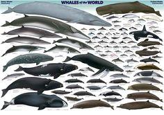 Whale-Species-Chart-copy.jpg (1349×953)