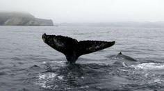 Si prefieres una actividad más pasiva pero sigues buscando nuevas aventuras, prueba con un paseo tranquilo en kayak rodeado de ballenas en las costas de Terranova. Esas aguas son el hogar de 22 especies de ballenas que migran durante todo el año. Si ser marinero no es algo que te apasione, no te preocupes, puedes ver las ballenas desde una plataforma en un acantilado.
