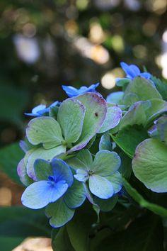 April in Amserdam loves them! Blue Garden, Colorful Garden, Hydrangea, Magnolia Gardens, Blue And Purple Flowers, Hollyhock, Hibiscus, Flower Art, Flower Power