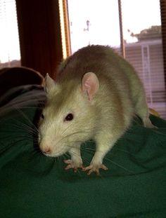 This was my Lenard. Cream colored Self Rat.
