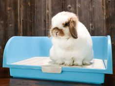 Mini Lop Bunnies, Mini Lop Rabbit, Holland Lop Bunnies, Cute Baby Bunnies, Pet Rabbit, Cute Babies, Rabbit Cages, House Rabbit, Bunny Care Tips