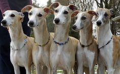 Greyhounds ... KERMITS GALORE!!!