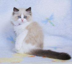 Ragdoll Kittens for Sale,   Catlana Ragdolls Ragdoll Kittens For Sale, Kitten For Sale, Newborn Kittens, Baby Cats, Beautiful Kittens, Kitty, Cute, Animals, Little Kitty