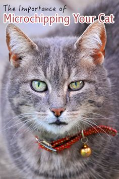 Microchipping is a method of identification that can help to reunite owners with their lost pets. We discuss why it's important and common reasons for not microchipping pets | The Importance of Microchipping Your Cat