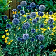 "Blue Globe Thistle,  The Blue Globe Thistle (also known as echinops), is one of the most eye-catching plants in nature. By midsummer it features a countless number of amazing globes of steel-blue flowers. Another great feature are the large,gray/green leaves that serve as a contrasting backdrop to these highly unique flowers.  Hardy in zones 3-9 Size No. 1 Height 36-48"" Spacing 18-24"" Full or Part Sun Cut Flower Deer Resistant"