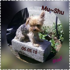 Mu~Shu 06.05.15 *He loves the sunshine #yorkiezrule #sweetbabyboy #lovehim #mylife #mamasboy #rotten