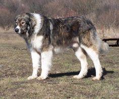 Carpathian Shepherd dog photo | ... carpathian shepherd dog romanian carpathian shepherd caine ciobanesc