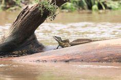 lizard on the tarcoles riverbanks  - Costa Rica
