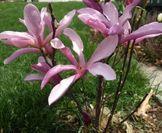 Magnolia 'Betty'  I have one that was planted in 1998 southeast corner of the garage.
