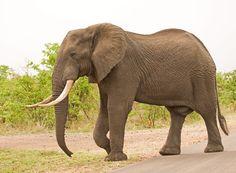 Afbeeldingsresultaat voor olifant zijkant