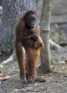Tori, a female orangutan carries her baby at Satwa Taru Jurug zoo in Central Java, Indonesia Primates, Cute Baby Animals, Animals And Pets, Funny Animals, Save The Orangutans, Baby Orangutan, Animal Tracks, Cute Monkey, Fauna