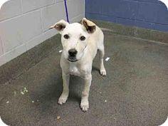 Jacksonville, FL - Labrador Retriever Mix. Meet CABELA, a dog for adoption. http://www.adoptapet.com/pet/11897642-jacksonville-florida-labrador-retriever-mix