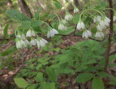 Deerberry blooms