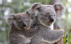 Koala bears, Australia's best known animals are not actually bears. They aren't even related to bears, they are related to kangaroos. Top 10 Cutest Animals, Cutest Animals On Earth, Cute Funny Animals, Australia Animals, Most Beautiful Animals, Animal Kingdom, Mammals, Wildlife, Koala Bears